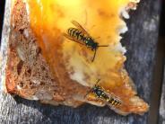 Schutz vor Infektionen: Wespenstich: Gift mit Würfelzucker aus der Haut saugen