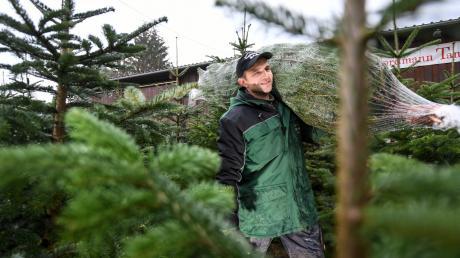 Die Versorgung mit Weihnachtsbäume ist gesichert. Die gute Nachricht: Die Preise sind im Vergleich zum Vorjahr relativ stabil geblieben.