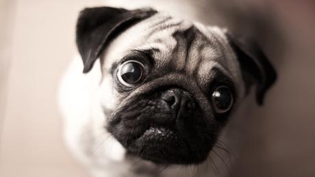 """Große Augen, kleine Nase – was sieht der doch süß aus! Nur richtig atmen kann der Mops halt leider nicht und wird daher oft zum Fall für ein """"Kuscheltierdrama""""."""