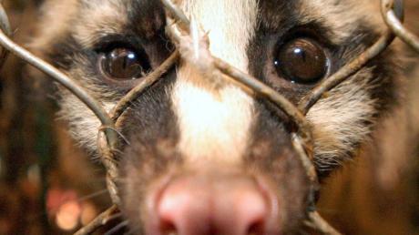 Ein Larvenroller, der im Westen häufig fälschlicherweise als Zibetkatze bezeichnet wird, auf einemFleischmarkt für Wildtiere in China.