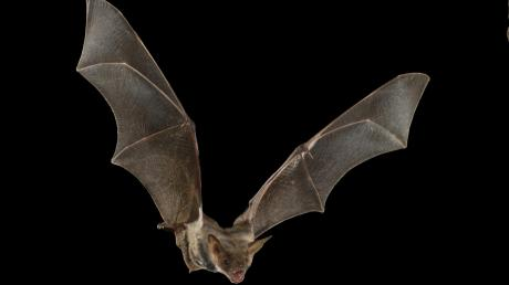 Bei Fledermäusewerden immer neueViren gefunden