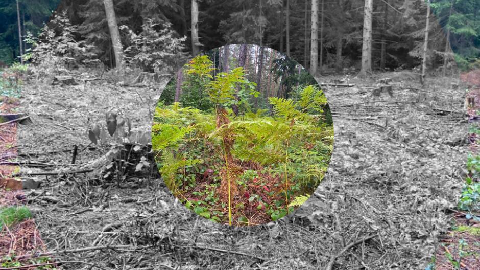 Außen: Der Tharandter Forst nach dem Borkenkäferschlag. Innen: Die Aufforstung beginnt mir Farnen und Brombeeren.