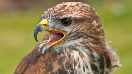 Ein Greifvogel hat bei Thierhaupten einen Jogger angegriffen. Dieser vermutet, dass es sich dabei möglicherweise um einen Mäusebussard gehandelt haben könnte. Symbolbild