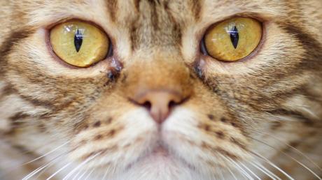 Schreckliche Tat: Einer Katze in Schrobenhausen wurde wohl gezielt ein Auge ausgeschossen.