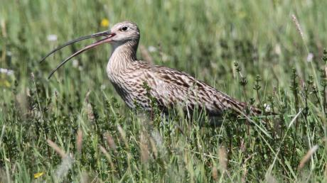 Der Große Brachvogel ist eine in Bayern hoch gefährdete Vogelart, von der noch rund 20 Paare im Donaumoos brüten. Dennoch konnte ein entdecktes Nest nicht vor Räubern gesichert werden.