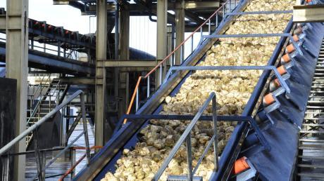 Auf Hochtouren werden die Bänder im Südzucker-Werk in Rain noch eine Woche laufen. Dann ist eine fast rekordverdächtige Ernte verarbeitet.