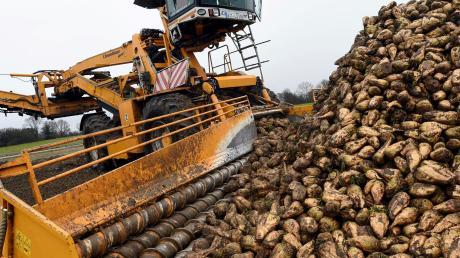 Gesucht sind: Anbauer von Biozuckerrüben. Sie werden ab 2019 in Rain verarbeitet.