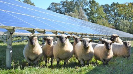 Schafe%20beweiden%20Solarpark.jpg