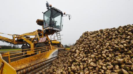 Die Zuckerrüben werden derzeit geerntet und dann mit Transportern zur Verarbeitung zur Fabrik in Rain befördert.