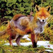 Fuchsra%c2%a6%c3%aaude_2.jpg