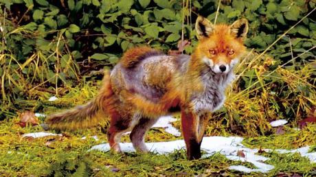 Dieser Fuchs leidet unter der Fuchsräude. Auch Hunde können sich damit anstecken. Zuletzt sind mehrere Fälle in Hirblingen aufgetreten.