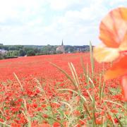 Das Mohnblumenfeld bei Aindling ist zur Attraktion geworden. Viele Menschen kommen auch von weiter her, um Fotos zu machen. Es gibt aber auch kritische Stimmen, denn so manch einer zertrampelt die Blumen.