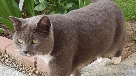Katze Nelly ist die letzte der fünf Kühbacher Katzen, die noch vermisst wird. Besitzerin Nicole Heib  hofft, dass auch sie noch gefunden wird.