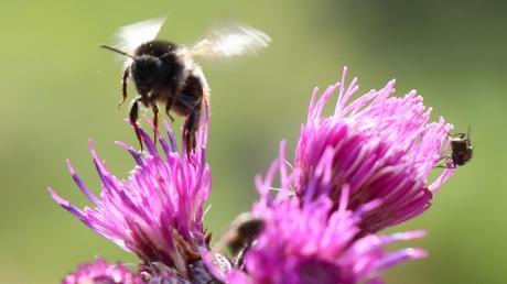 Blühstreifen für Insekten dürfen in Augsburg jetzt länger stehen bleiben.