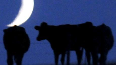 Werden Rinder auf einer Weide im Raum Aichach ausreichend gefüttert? Das Veterinäramt ist einem Hinweis nachgegangen und hat die Rinderhaltung kontrolliert.