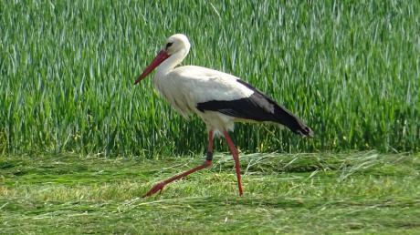Ein Storch ist auf Nahrungssuche im Lechtal.