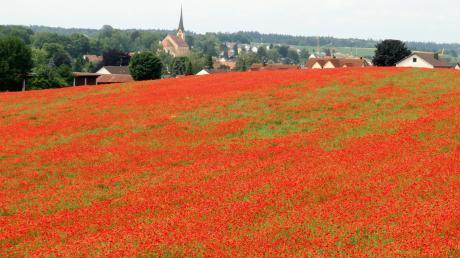 Auf diesem Feld bei Aindling strahlten Millionen von Mohnblumen vergangenes Jahr in sattem rot. Doch das beliebte Fotomotiv ist heute kaum mehr wiederzuerkennen.