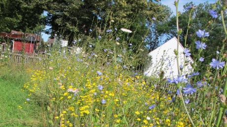 Auf der Blumenwiese blüht es in den schönsten Farben. Besonders auffällig die blaue Wegwarte, die hier fast zwei Meter hoch ist.