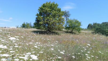 Die Pfarrwiese bei Alsmoos hat sich zu einem Schatzkästchen in Sachen Artenvielfalt entwickelt.