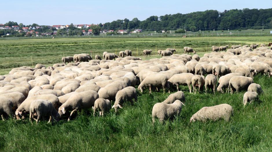 Im Affinger Ortsteil Mühlhausen weiden öfter viele Schafe in freier Natur, wie hier die Herde von Josef Hartl. Kann der Wolf auch diesen Tieren gefährlich werden?