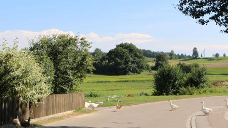 Das Federvieh der Familie Dempfle beansprucht diesen Abschnitt der Mühlstraße für sich. Hier herrscht reger Vogel-Verkehr. Dahinter sind die malerischen Wiesen und Böschungen entlang der Ecknach zu erkennen