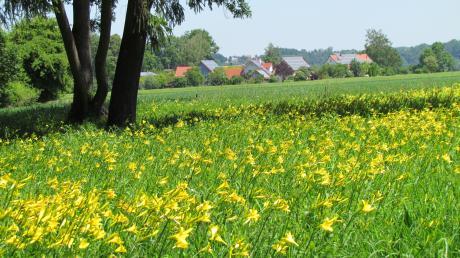 Für die Gemeinde Rehling ist es eine Aufgabe, das Taglilienfeld zu erhalten und zu schützen.