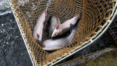 Die Fische in der Friedberger Ach sind mit PFC belastet, vor dem regelmäßigen Verzehr wird gewarnt.