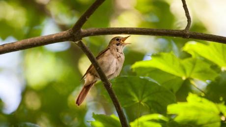 Die berühmte Sängerin Nachtigall, optisch ein eher unauffälliger Vogel, wurde jetzt im Ecknachtal nachgewiesen.
