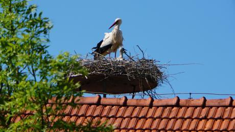 Wie viele junge Störche mögen es wohl sein in dem neuen Storchennest auf dem landwirtschaftlichen Anwesen in der Leonhardstraße in Raisting? Zwei Köpfchen ragen schon aus dem Nest.