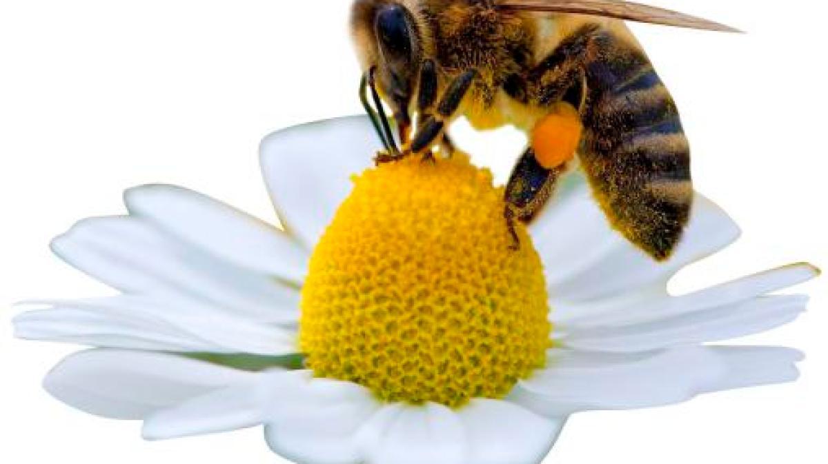 tiere zu wenig blumen f r die bienen nachrichten augsburg land gersthofen neus. Black Bedroom Furniture Sets. Home Design Ideas