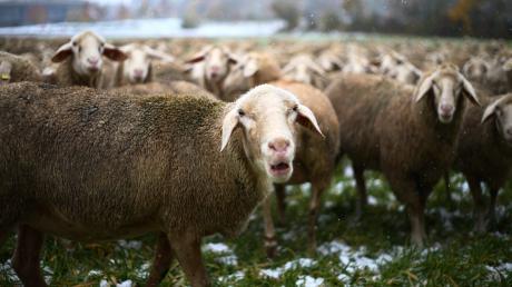 Fünf Schafe wurden bei Ebershausen von einem Auto überrollt, drei davon erlagen ihren Verletzungen.