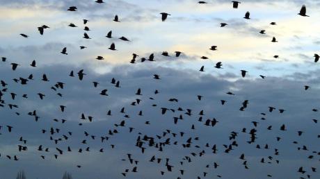 Viele Saatkrähen sind  im Landkreis unterwegs. (Archivfoto)