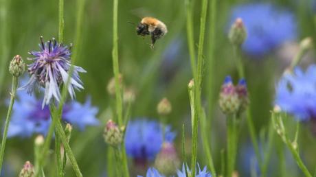 Die Gemeinde Altenmünster will etwas gegen das Bienensterben tun. (Symbolbild)