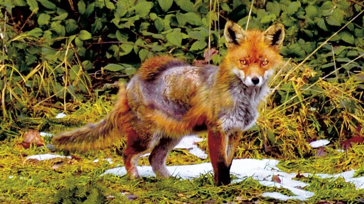 Kranker Fuchs