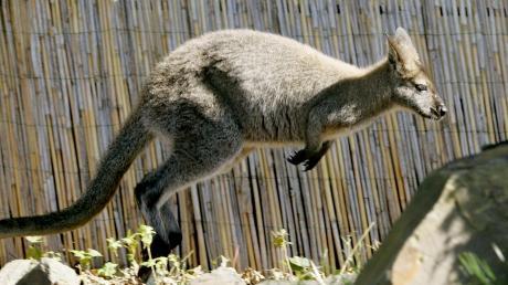 Ob ein Känguru dauerhaft in freier Wildbahn im Augsburger Land überleben kann? Denkbar wäre es.