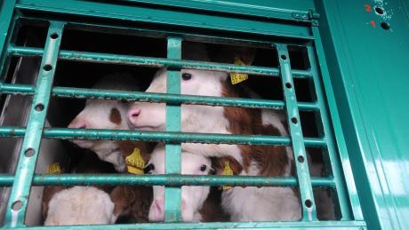 Der Fahrer eines Viehtransporters wurde in Untermeitingen ohne Führerschein erwischt.