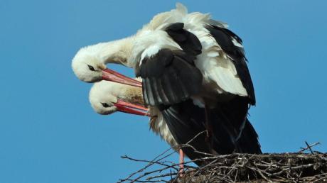 Das Storchenpaar von Zusamzell bereitet sich seit etwas mehr als einer Woche auf wärmere Tage vor und bastelt an seinem Horst. Denn bald beginnt die Brut-Saison.
