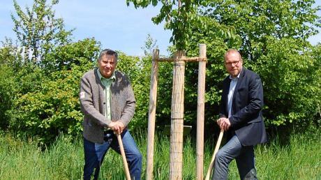 In Langweid wurde unter den Augen von Jürgen Gilg (rechts) und Werner Burkhart unter anderem diese Wildkirsche gepflanzt.
