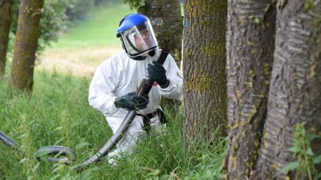 Die Firma Mayer beseitigt Bäume bei Wörleschwang von den Eichenprozessionsspinnern.