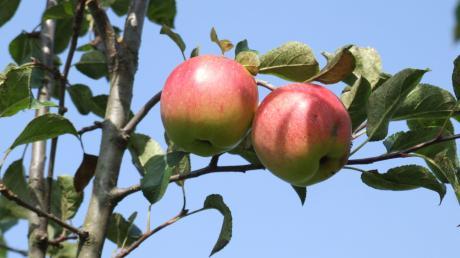 Der Obst- und Gartenbauverein Wollmetshofen ist rührig und engagiert. Jedes Jahr sammeln beispielsweise die Mitglieder Äpfel und Birnen von der Streuobstwiese und Bäumen in der Flur, um das Obst an den Verein Streuobstwiesen Stauden zu verkaufen.