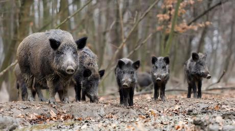 Eine Rotte Wildschweine überquerte plötzlich die B300.