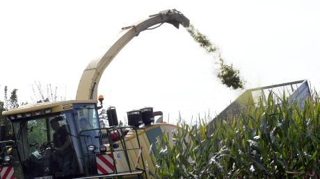 Auf rund 12.000 Hektar Ackerfläche wächst im Landkreis Augsburg Mais, im Herbst beginnt die Erntephase. Mit großen Geräten arbeiten sich die Landwirte dann durch die Felder.
