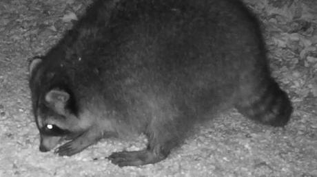 Ein gefundenes Fressen sind für den Waschbären die heruntergefallenen Körner aus dem Futterkasten.