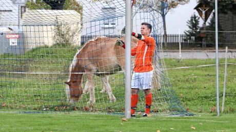 Ich glaub, mich tritt ein Pferd. Wörleschwangs Torhüter Florian Späth erhielt beim Spiel in Erlingen hinter seinem Kasten Besuch von einem Vierbeiner aus der angrenzenden Pferdeweide.