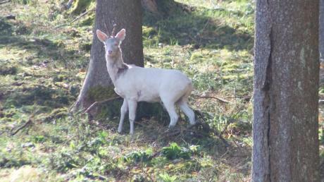 Bei einem Spaziergang bei Wollmetshofen hat Pfarrer Markus Schrom einen weißen Rehbock fotografiert. Das Tier ist nicht unbekannt in der Gegend.