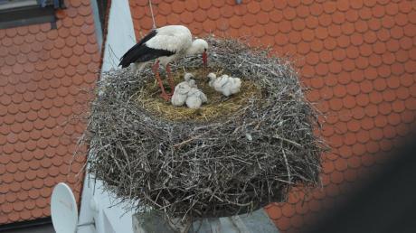 Von vier geschlüpften Jungstörchen ist im Nest auf der Pfarrkirche Maria Immaculata in Zusmarshausen nur noch einer übrig geblieben. Mittels einer Webcam kann man die Tiere bei Brut und Aufzucht beobachten.