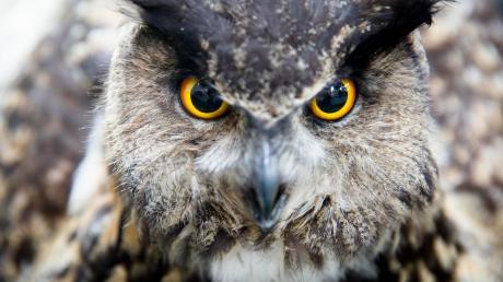 Die Messe Jagen und Fischen ist nicht nur für Fachpublikum gedacht. Auch Naturliebhaber bekommen von 19. bis 22. Januar einen ganz besonderen Einblick in die Welt heimischer Tiere – wie des Uhus – und deren Lebensraum.