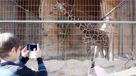 Die neuen Giraffen ziehen die Blicke auf sich.