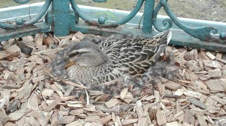 Diese Ente brütet derzeit im Biergarten im Wittelsbacher Park.