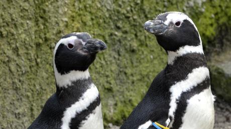 Pinguine wurden aus dem Augsburger Zoo noch nicht gestohlen. Zwei machten aber einen Ausflug.